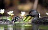 Least Grebe (Tachybaptus dominicus) (Explore) by Daniel Mclaren .:. Naturalist Guide CR