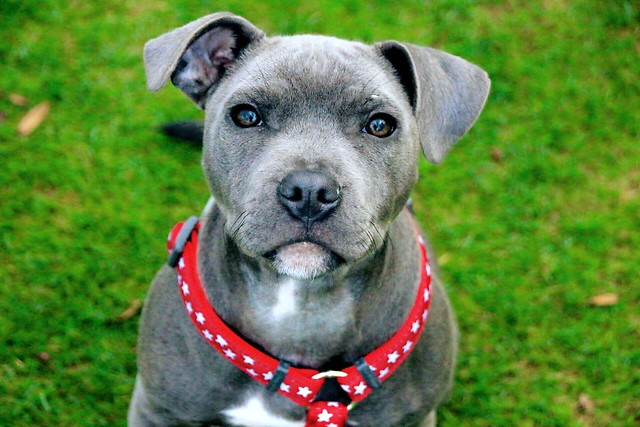 Blue Staffie up Lickey Hills Country Park