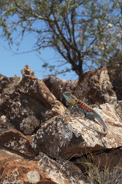 Red-barred Dragon (Ctenophorus vadnappa)