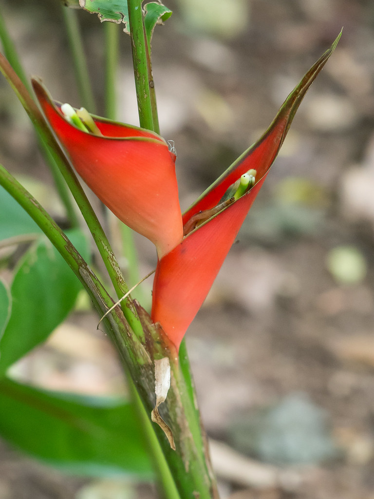 _B166085 Heliconia stricta.jpg