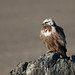 Upland Buzzard - Photo (c) Sergey Pisarevskiy, some rights reserved (CC BY-NC-SA)