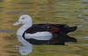 Rajah Shelduck (Burdekin Duck) (Tadorna radjah).01 by Geoff Whalan