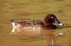 Hardhead (aka White-Eyed Duck) (Aythya australis) (45 – 60 centimetres) (male).03 by Geoff Whalan