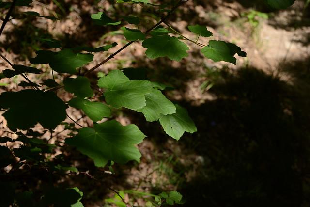 Acer opalus - érable à feuille d'obier 32457038812_d7bcb138d8_z