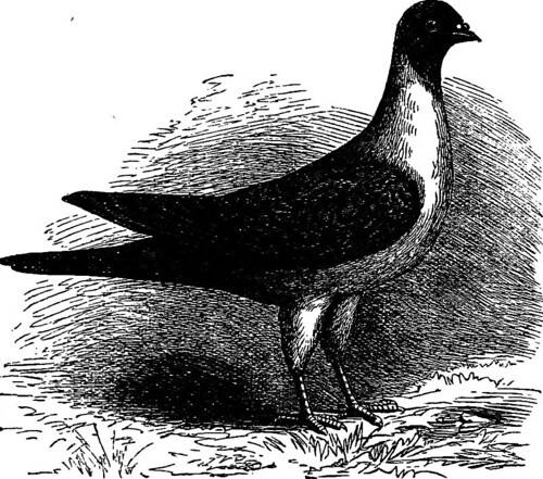 """Image from page 233 of """"The practical pigeon keeper """" (1891)"""