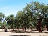 Monfragüe – korkové duby, foto: Petr Nejedlý