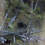 Bull Moose along Glen Creek