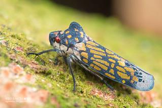 Humped leafhopper (Proconia marmorata) - DSC_0900