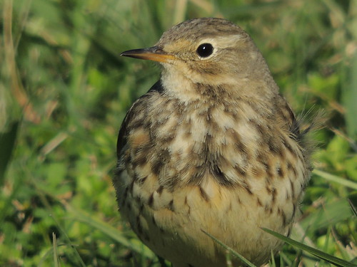 bird texas migration americanpipit
