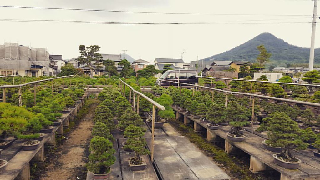 Bonsai production in Kinashi. Picture by actubonsai.com #BonsaiFoodFriends