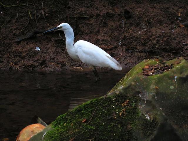 Snowy Egret 03-01-2017