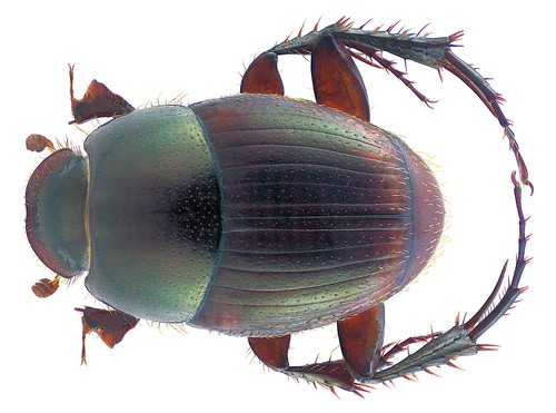 Onthophagus anomalus Klug, 1855   by urjsa