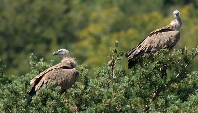 Vultures perched aloft