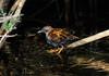 Baillon's Crake - Porzana pusilla by Cyprus Bird Watching Tours - BIRD is the WORD