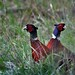 Oiseaux - Galliformes