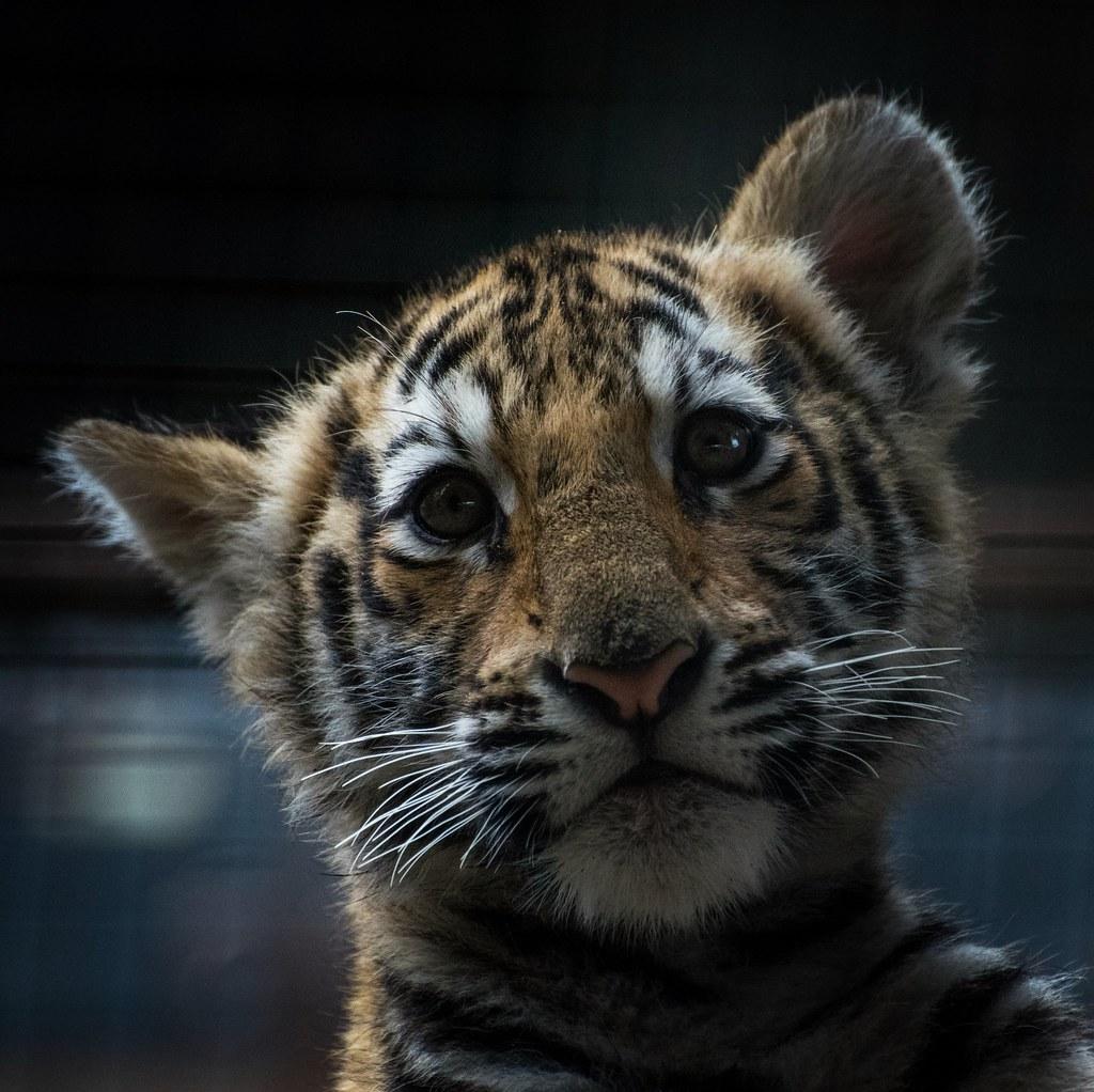Bengal Tiger Cub Sandra Wildeman Flickr