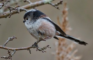 Long-tailed Tit | by John Assheton