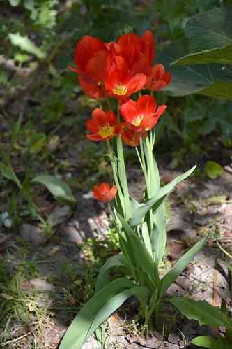 Tulipa - espèces et petits hybrides (sections 12 à 15) 32240440573_8508f5b0ec