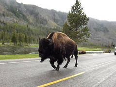 bison on the highway | by townscap.es