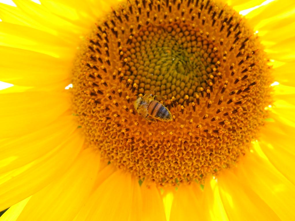 研究指出,向日葵的花粉似乎可以減少熊蜂腸道受感染的嚴重性。照片來源:Sergio(CC BY-NC-ND 2.0)