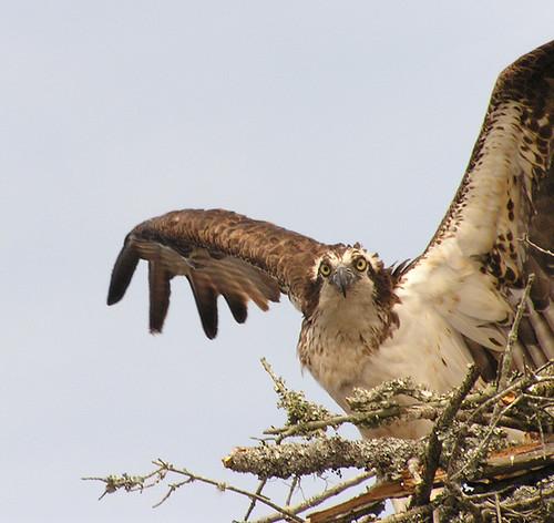 bird osprey pandion haliaetus specnature picturethis1 lifeinthepumpkinshell mg2green 8230thisthat shesnuckinfuts imtoootall egefan bromman voxsciurorum
