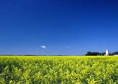 Fields of Canola | by Gary Simmons
