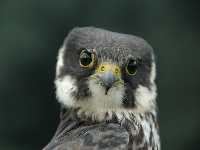 Hobby (Falco subbuteo)