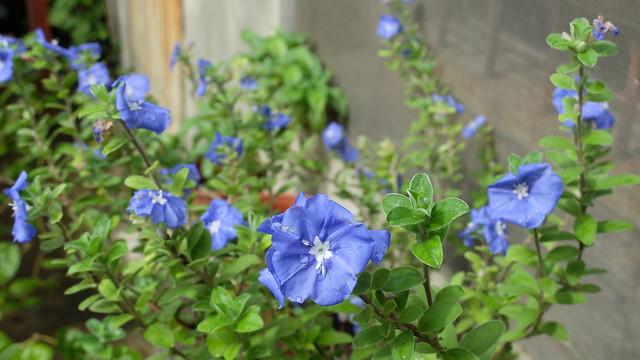 1040824_4_藍星花