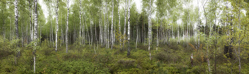 panorama forest swamp birch lithuania rekyva