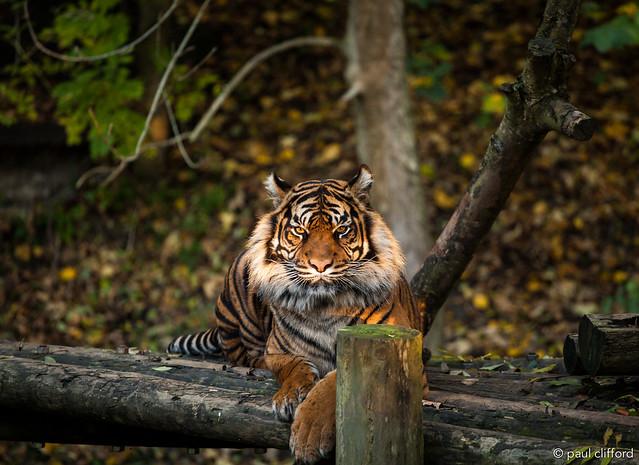 Autumn 2015 - Daseep the Sumatran tiger
