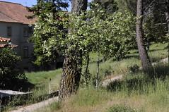 Sorbus-latifolia-01