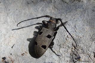Morimus funereus