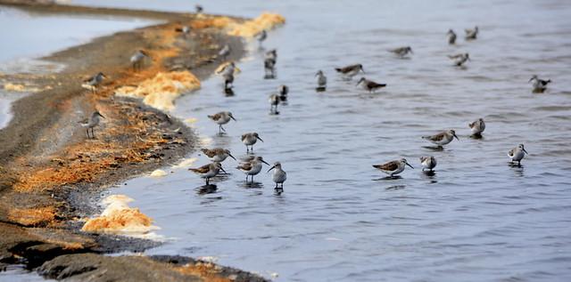 WEST AFRICA:   WADING BIRDS,   WALVIS BAY, NAMIBIA, AFRICA