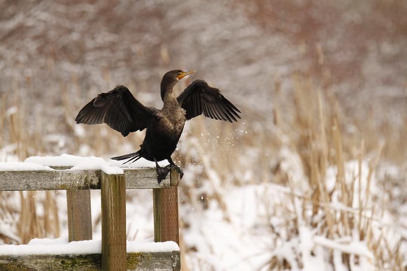 Snowy Cormorant