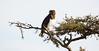 Black-chested Snake-Eagle by RedAbbott
