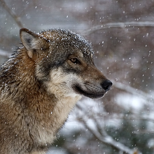 Wolf | by burningman65
