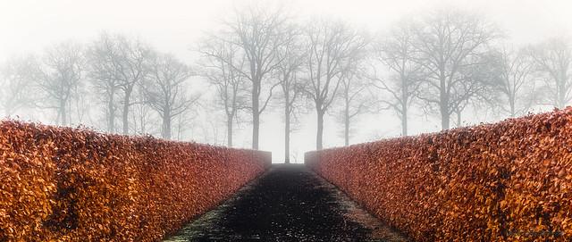 Hedge in the fog.