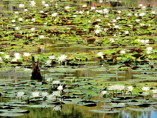 Hundred of lotus blooming in the Louisiana swamps.