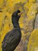 Shag (Phalacrocorax aristotelis), Isle of May NNR by Niall Corbet