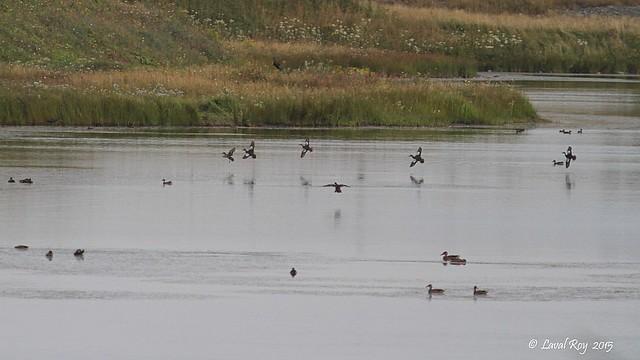 1.00380 Marais de Cacouna / Cacouna's marsh