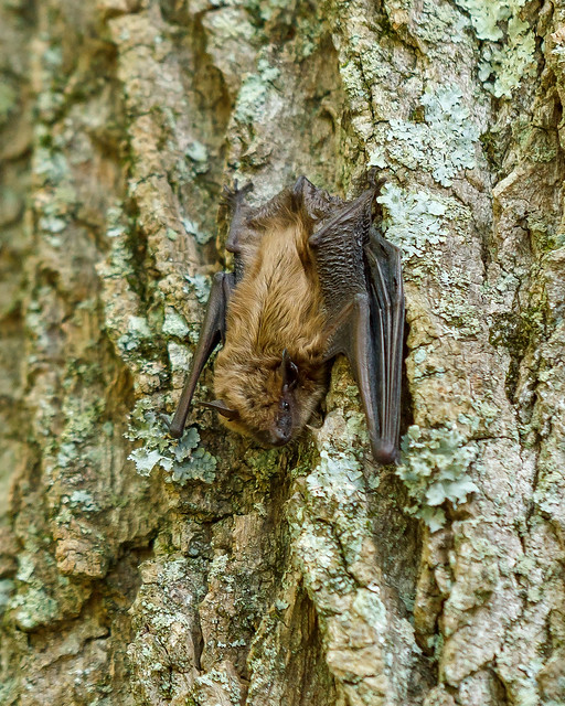 Bat disturbed by tree work, most likely Eptesicus fuscus (big brown bat)