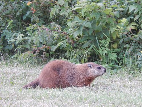 Parc du Bic - marmot
