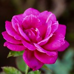 Rose in late autumn