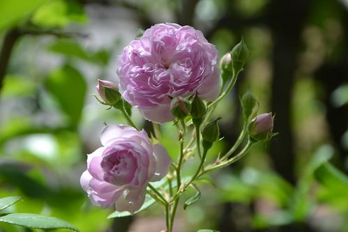 rosier 'Laure Davoust' 32733639451_f8b487c2ed