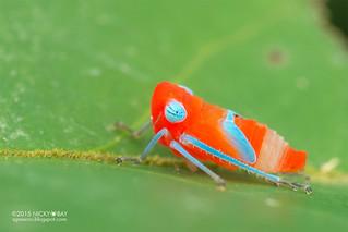 Leafhopper nymph (Cicadellidae) - DSC_2872