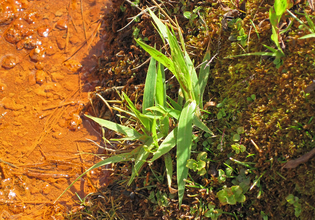 Dichanthelium lanuginosum hydrothermal-tolerant grass (Chocolate Pots, Gibbon Geyser Basin, Yellowstone, Wyoming, USA) 2