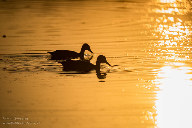 A pair of Northern shovelers taking an evening swim