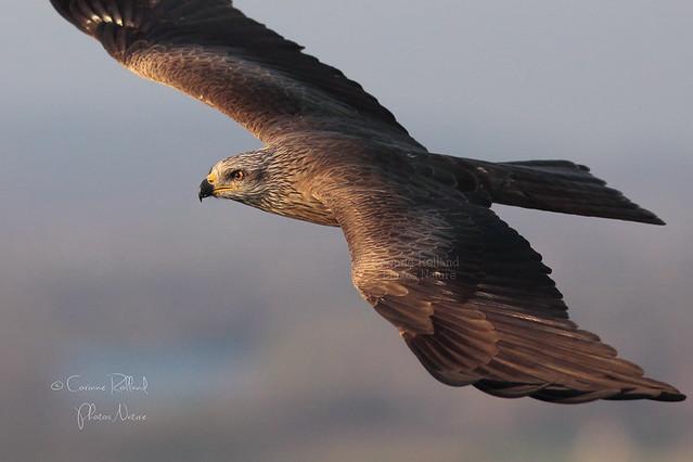 Otello, Milan Noir ( Milvus Migrans ) - Black kite #1126