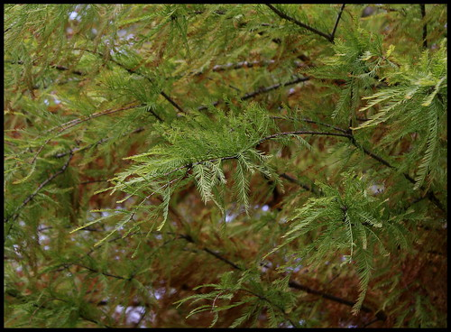 Taxodium distichum - cyprès chauve, cyprès de Louisiane  22616350491_5bbf29bff0