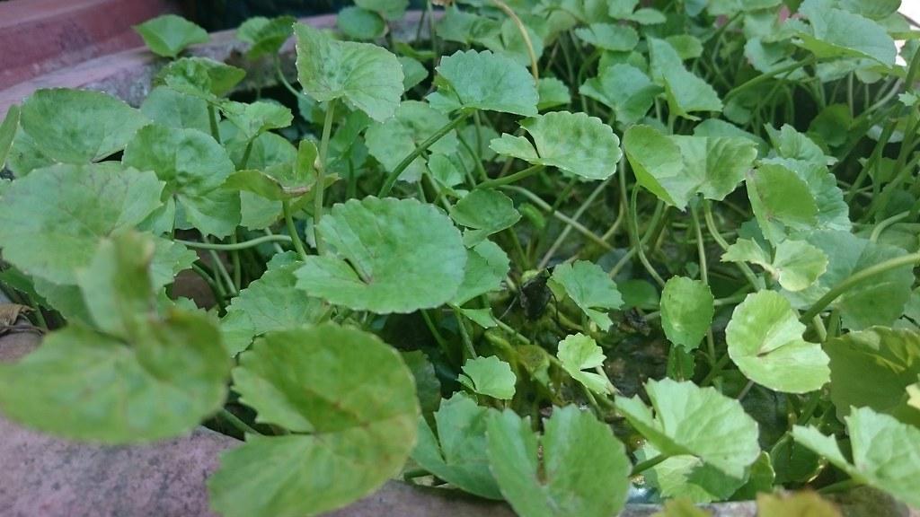 Kết quả hình ảnh cho Centella Asiatica